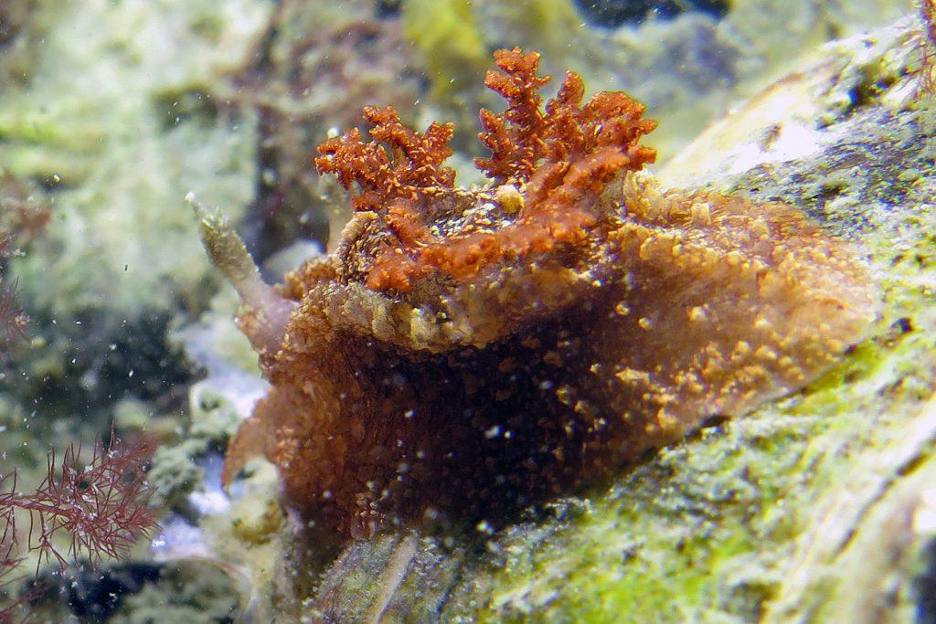bruine plooislak (Goniodoris castanea)